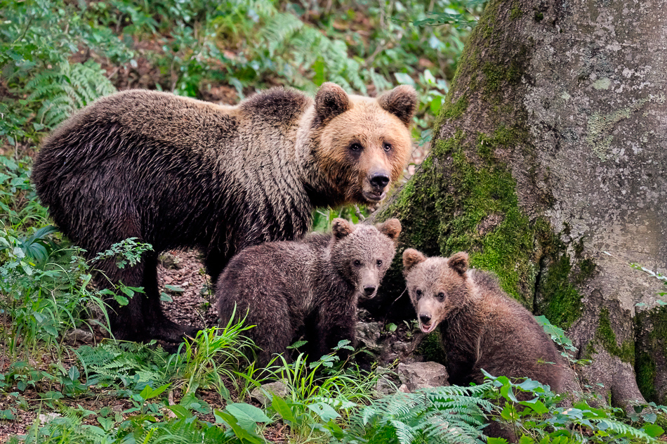 Guidelines for responsible use of brown bear in tourism highlighted as an example of best practice