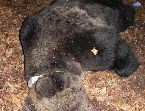Comunicato Stampa Della PAT: Orso Radiocollarato in Valle dello Sporeggio