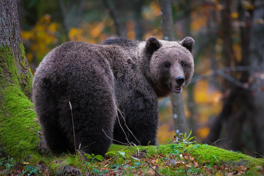 Slika medveda, Miran Krapež