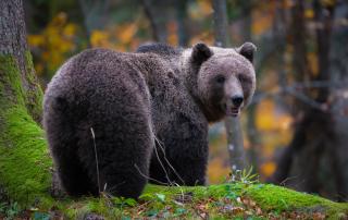 Slika medveda, ki jo je posnel Miran Krapež