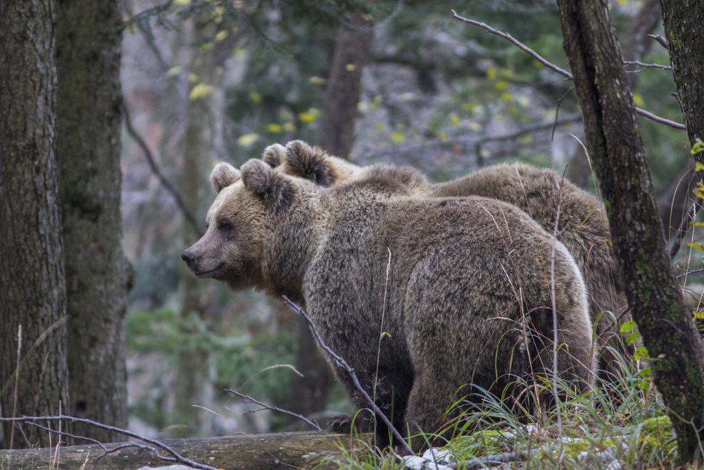 Slika medveda, Matej Kovačič