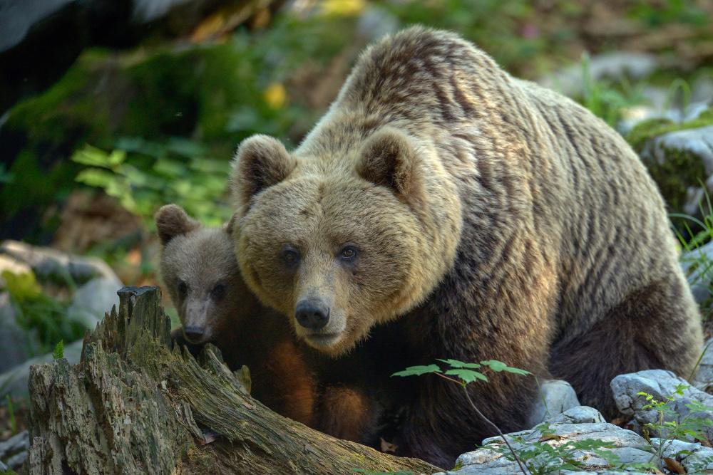 Slika medveda, Oton Naglost