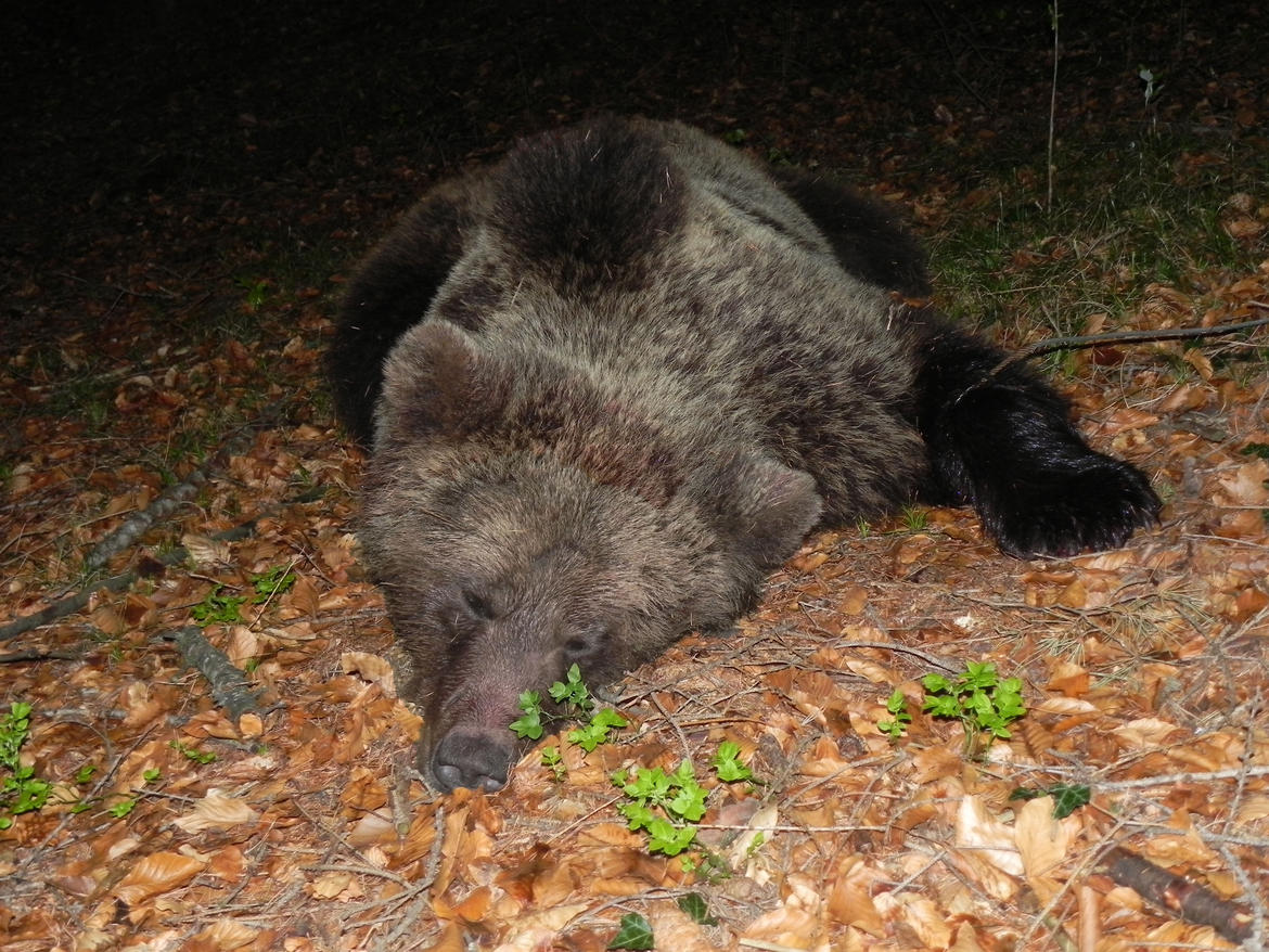 A bear in Trentino, Italia, captured, radio-collared and released