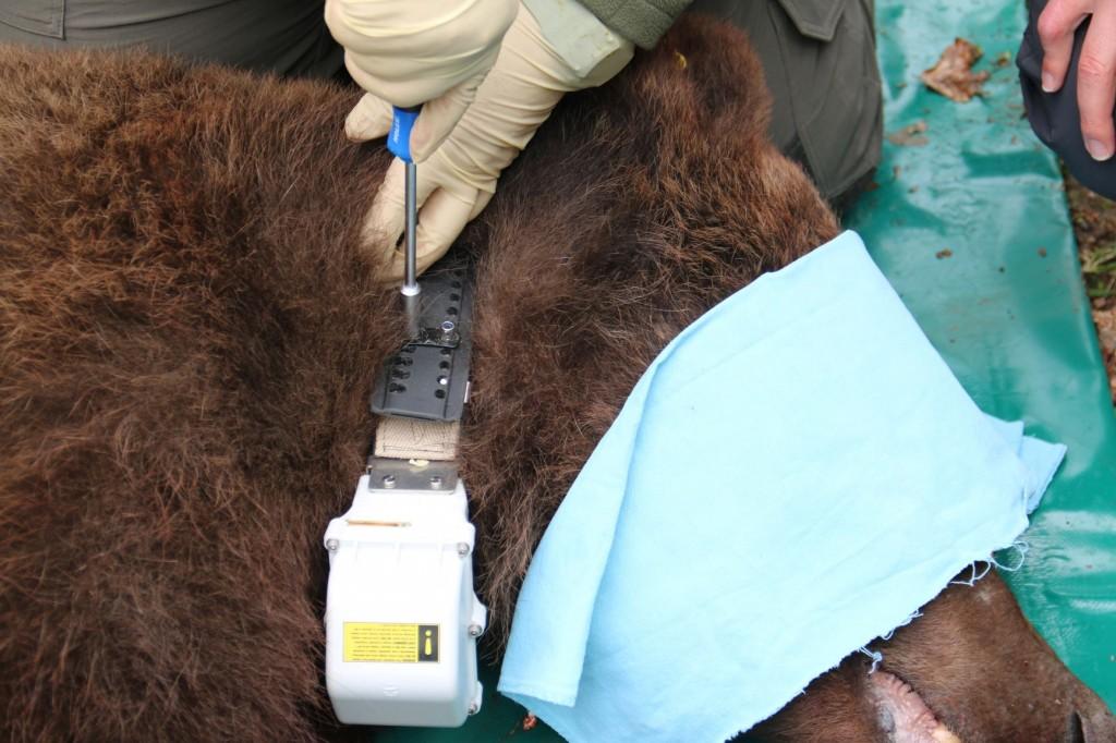 S telemetrično ovratnico smo opremili medveda v Trnovskem gozdu