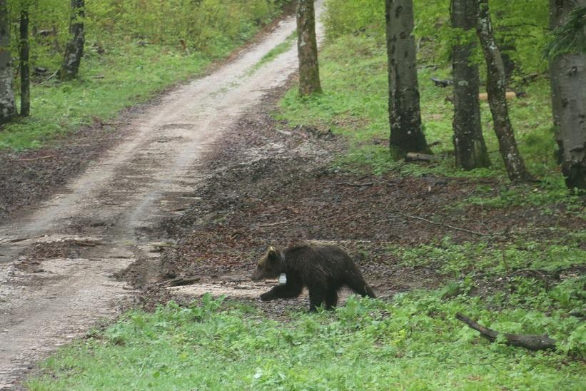 Kaj počne medved »Rok« v Trnovskem gozdu?