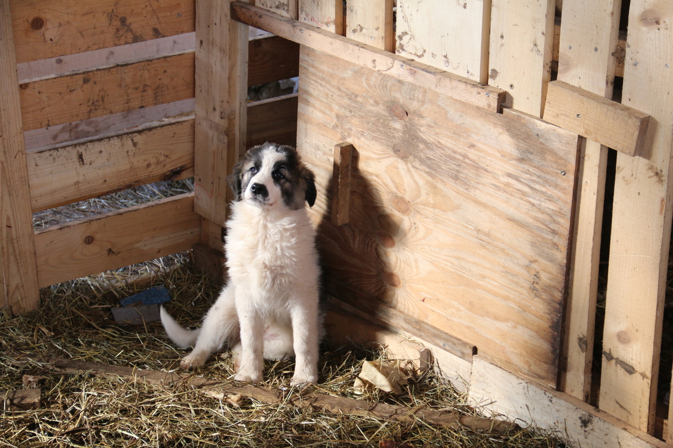 "8 young ""project"" livestock guarding dogs joined new owners"