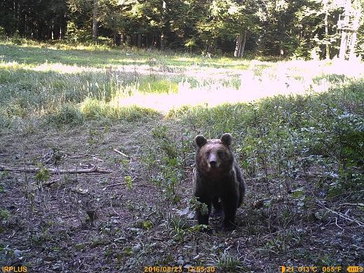 Si conclude uno studio sull'efficacia dell'uso delle carogne per l'alimentazione artificiale degli orsi