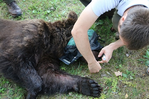 A female bear has been captured in Culvert trap