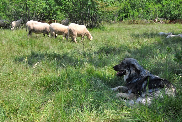 Workshop about use of livestock guarding dogs