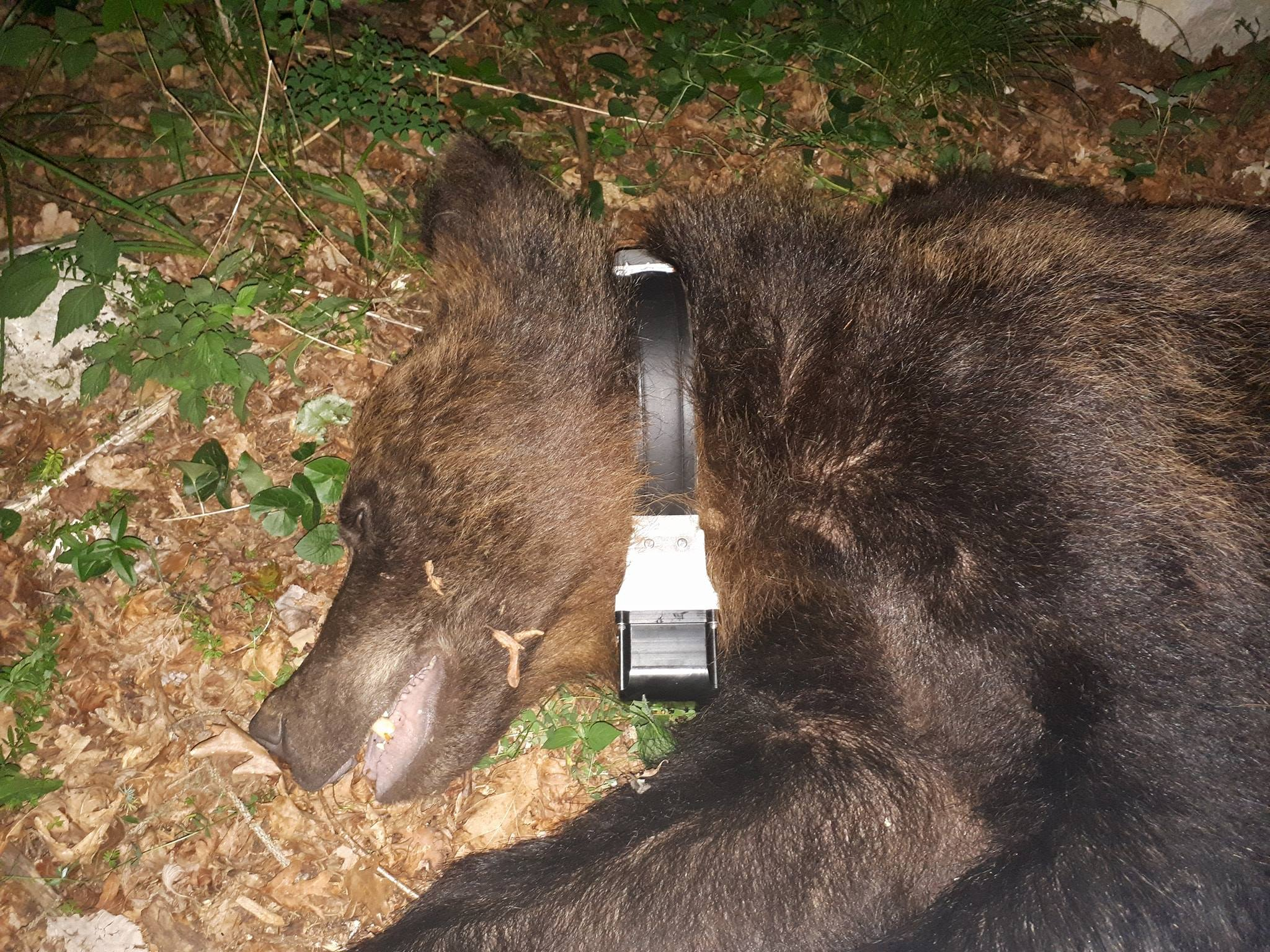 Two bears radio-collared in Slovenia this spring