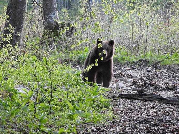 Domači okoliš medveda »Roka« v naši spletni banki podatkov