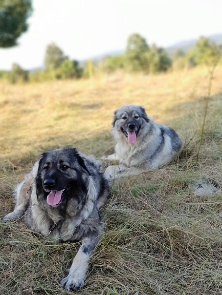 Press release: 20 livestock guarding dogs co-financed