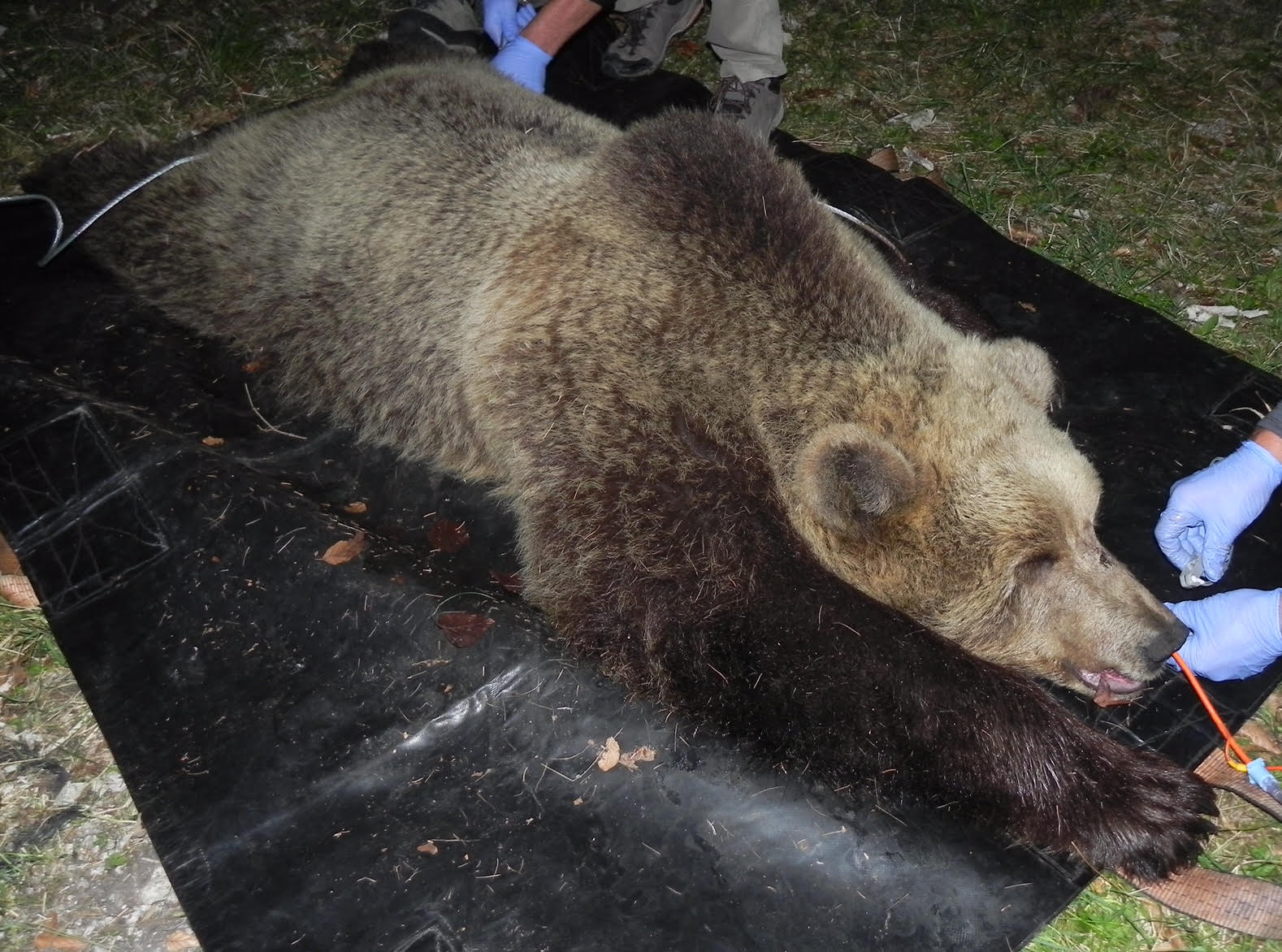 Captured and radio-collared a bear in Trentino