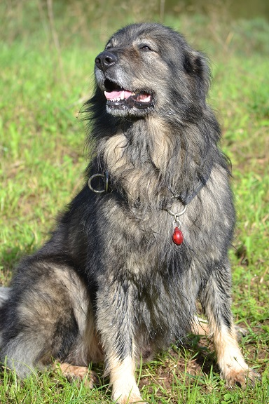 New project litter – Karst shepherd dogs