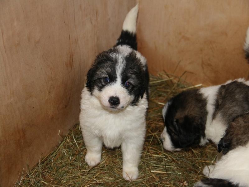 Mladi pastirski psi pasme tornjak na voljo v februarju!